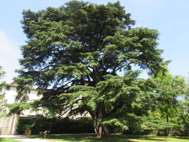 The Cedar of Lebanon planted in 1820